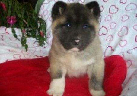 Gorgeous Akita Puppies Available For Sale