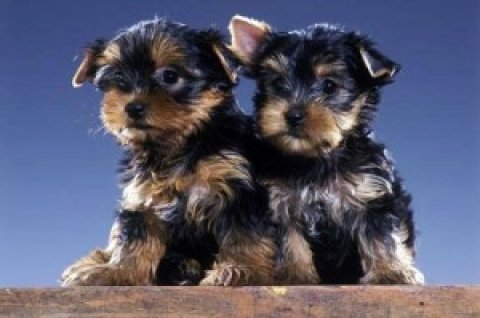 new liter yorkies for Sale