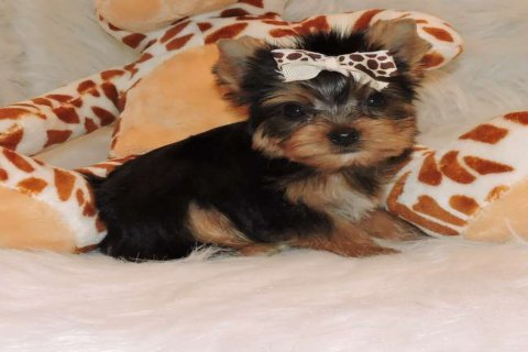 Charming and Cute Yorkie Now Available For Rehoming222