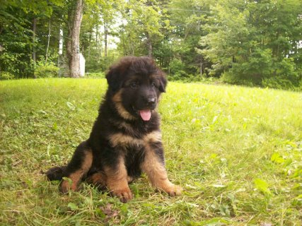 German Shepherd puppies for good family111