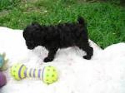 صور Toy Poodle puppies for sale2211 1