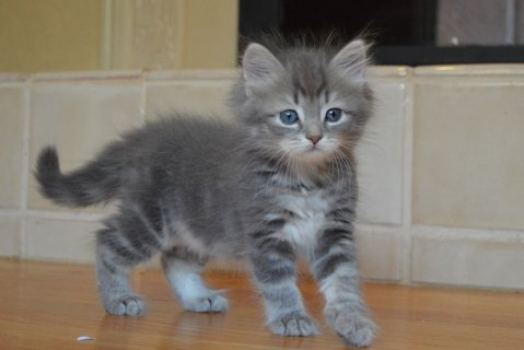Two Siberian Kittens ready to go For Good Homes22211