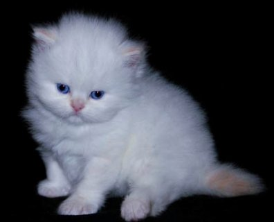 Cute White Persian female kitten for adoption332