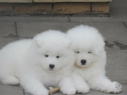 Adorable Samoyed puppies for sale. 334