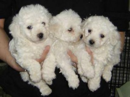 صور Bichon Frise puppies for free adoption22211 1