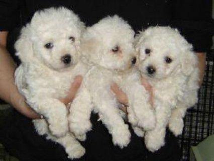 Bichon Frise puppies for free adoption22211