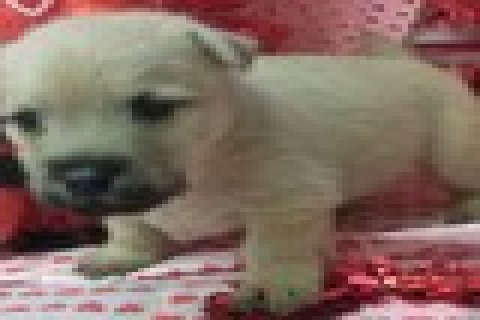 AKC female Cairn Terrier puppy for sale