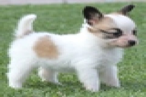 GORGEOUS AND CHARMING MALE AND FEMALE PAPILLON PUPPIES FOR FREE