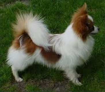 Affectionate Papillon puppies For Adoption