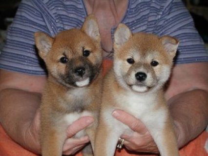 Purebred Shiba Inu puppies for adoption