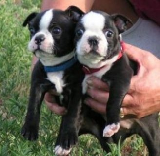 Beautiful Boston Terrier Puppies