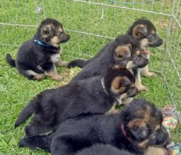 German Shepherd for adoption