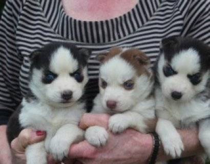 Siberian Husky Puppies for Adoption111