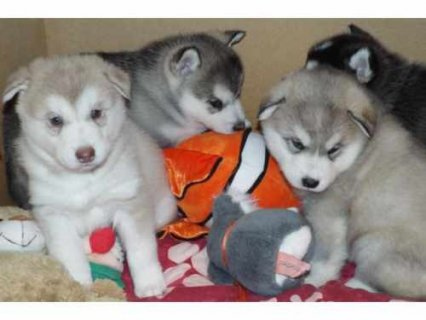 Cute Siberian Husky puppies  Cute Siberian Husky puppies