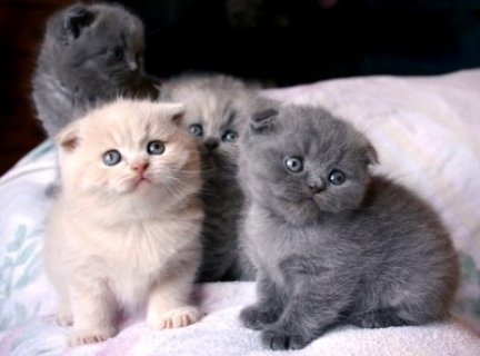 Black Scottish Fold Kittens for sale