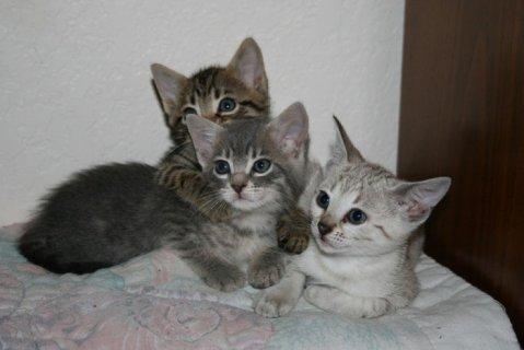 Rosetted Toyger Kittens