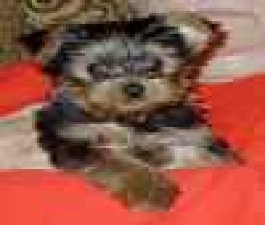 صور Teacup Yorkie puppies for adoption 1