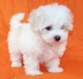 Cute and playful Maltese puppies1111