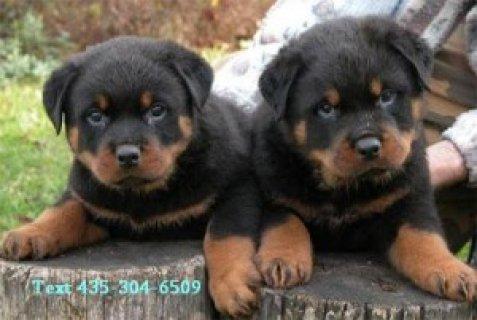 Registered Rottweiler Puppies111111111