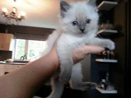 صور We got beautiful RAGDOLL KITTENS 1