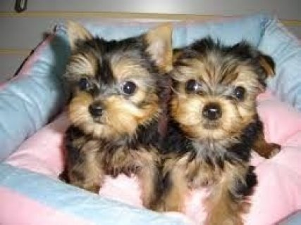 Gorgeous Tiny Yorkie Puppies For Sale1111111111