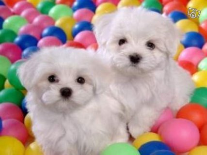 Two puppies Maltese bichon For Sale