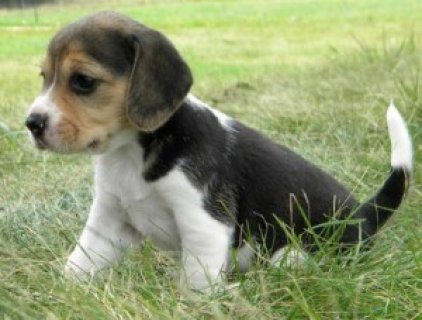 akc black-tan & white ticked male beagle For Sale