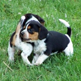 Awesome beagle puppies ready to go out now.