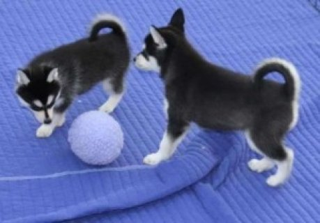 Fantastic Siberian Husky Pups Available For Sale