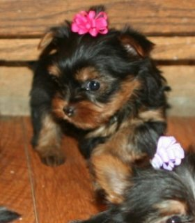 Cute and loving yorkie puppies for adoption