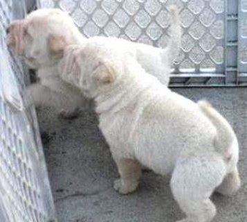 Sweet Chinese Shar pei puppies for adoption