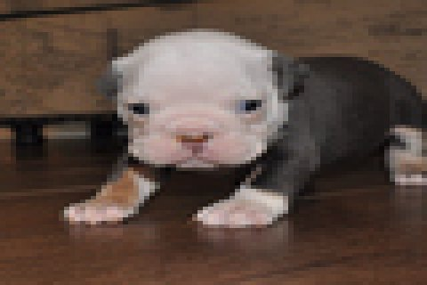 صور Afectionate Boston Terrier Puppies For Sell 1