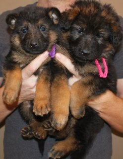 صور 2 German Shepherd puppies for good family 1