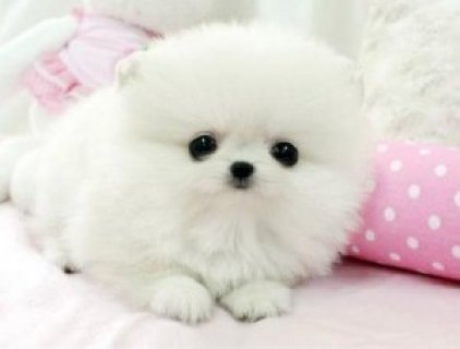 2 Tiny White Teacup Pomeranian Puppies For Sale