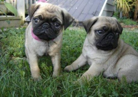 Pug Puppies For Good Homes2