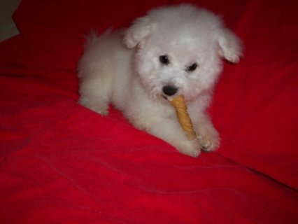 2 Bichon Frise puppies for free For Rehoming