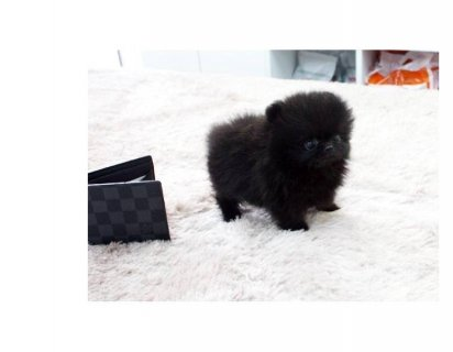 Teacup Black And White Pomeranian Puppies