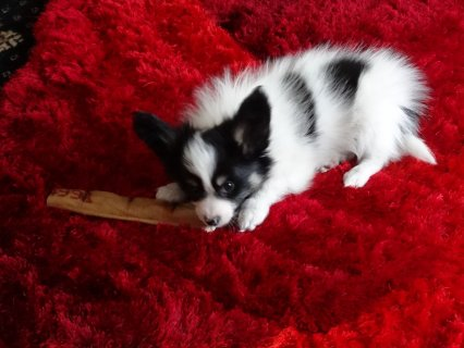 gorgeous Papillon Puppies For New Homes