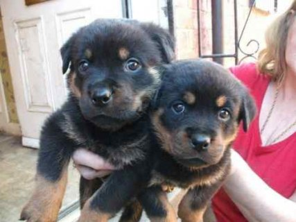 Registered German Rottweiler Puppies
