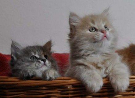 2 Siberian kittens