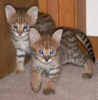 Beautiful Savanna kittens for adoption