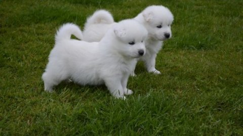 2 Samoyed puppies