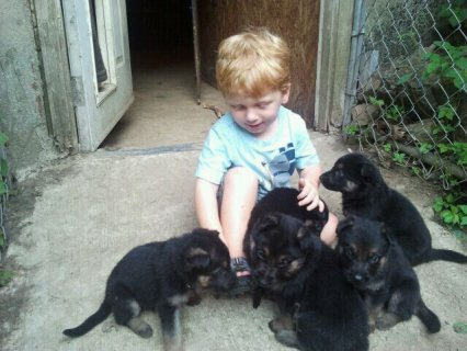 German Shepherd Puppies111111111111