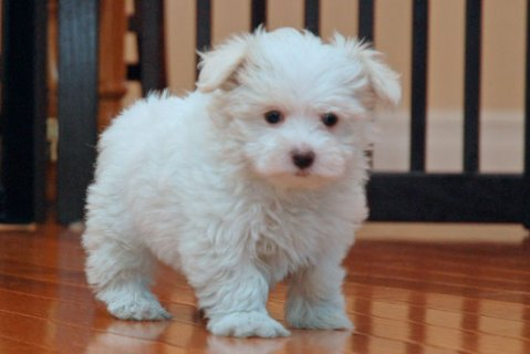 صور Maltese Puppies Available 1