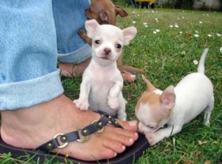 Chihuahua Puppies *Beautiful* for adoption
