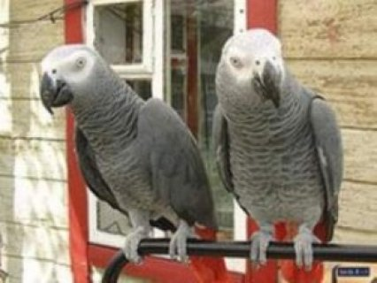 African Grey Parrots for sale,.,.,..