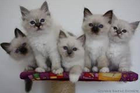 Cute male and female Birman kittens for sale