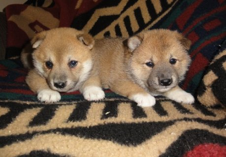 Male and female shiba inu pppie sofr sale