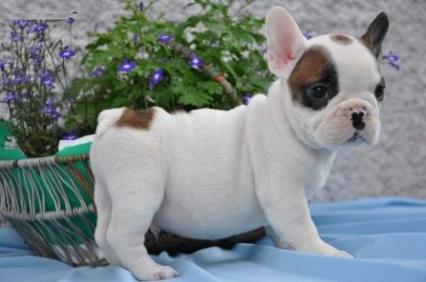 French Bulldog puppies for sale..//.