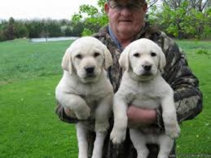 صور Labrador Retriever Puppies Ready to go for sale.. 1